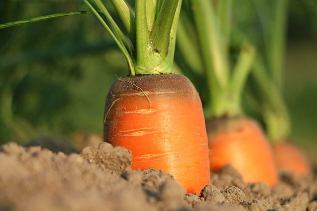 Morötter i jorden